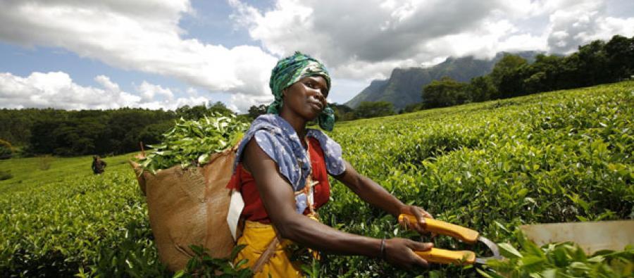 Plantacion de Te en Kenya. Foto: Oxfam.org