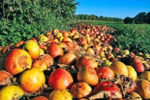 Frutas imperfectas son desechadas diariamente
