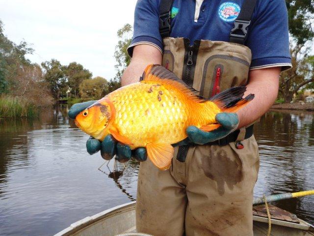 Pez dorado capturado en el río Vasse