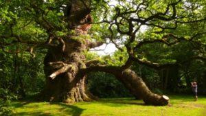 Pedunculate oak in Fredville Park, Nonington,