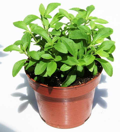 Se puede cultivar en macetas