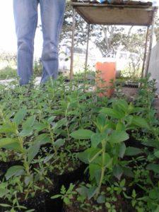 Plantulas en vivero propagadas por productores listas para sembrar en campo