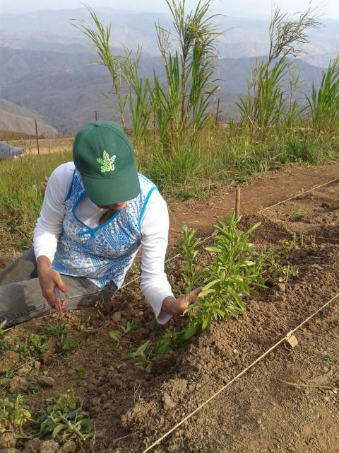 Poda de a stevia para inicio de un nuevo ciclo