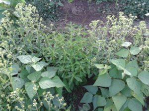 Stevias rebaudiana asociada a otras plantas