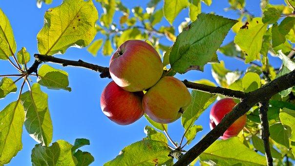 Difícil búsqueda de las manzanas