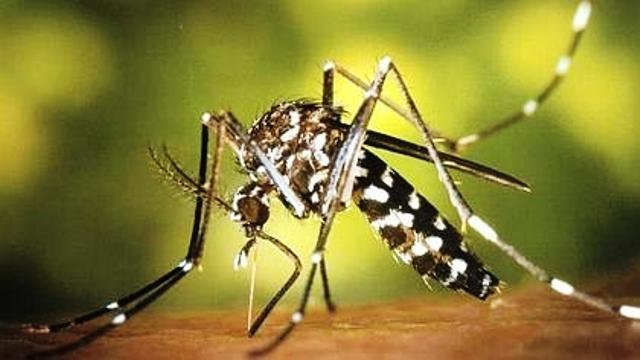 Mosquito tigre. Foto James Gathany