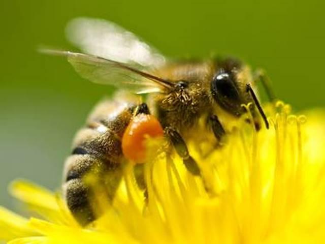 Los químicos están matando a las abejas en el planeta