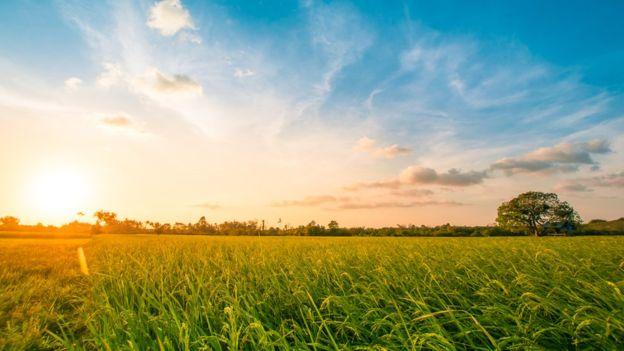 El arroz, el maíz y el trigo, importantes alimentos en nuestra dieta, son un tipo de hierba.