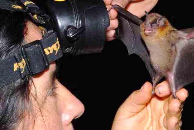 Olga Montenegro examina un murciélago