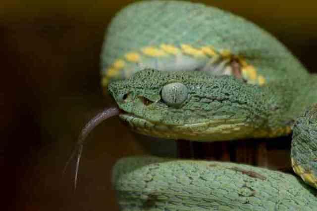 Serpiente guacamaya o vípera de la palma Bothriopsis bilineatus