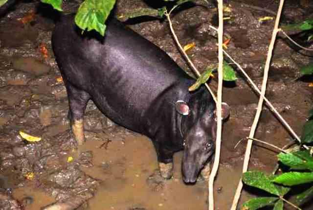 Un tímido tapir.
