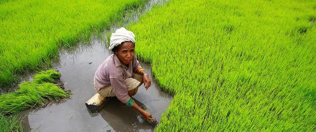Una mujer cosecha arroz de manera manual en Timor Leste. Foto ONU/ Martine Perret