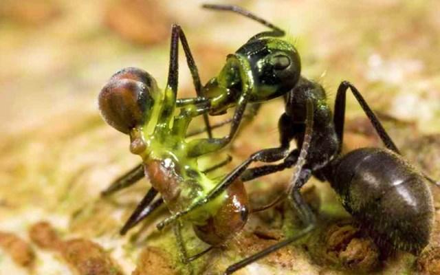 Colobopsis explodens lanza una sustancia tóxica